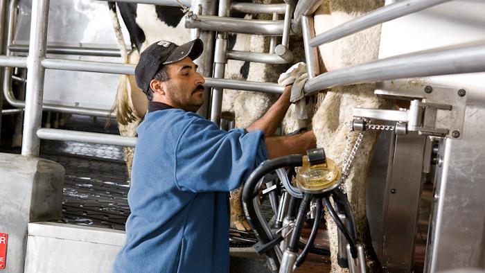 milking-3